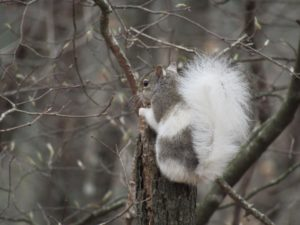 whitesquirrel30Mar2017_Melissapic